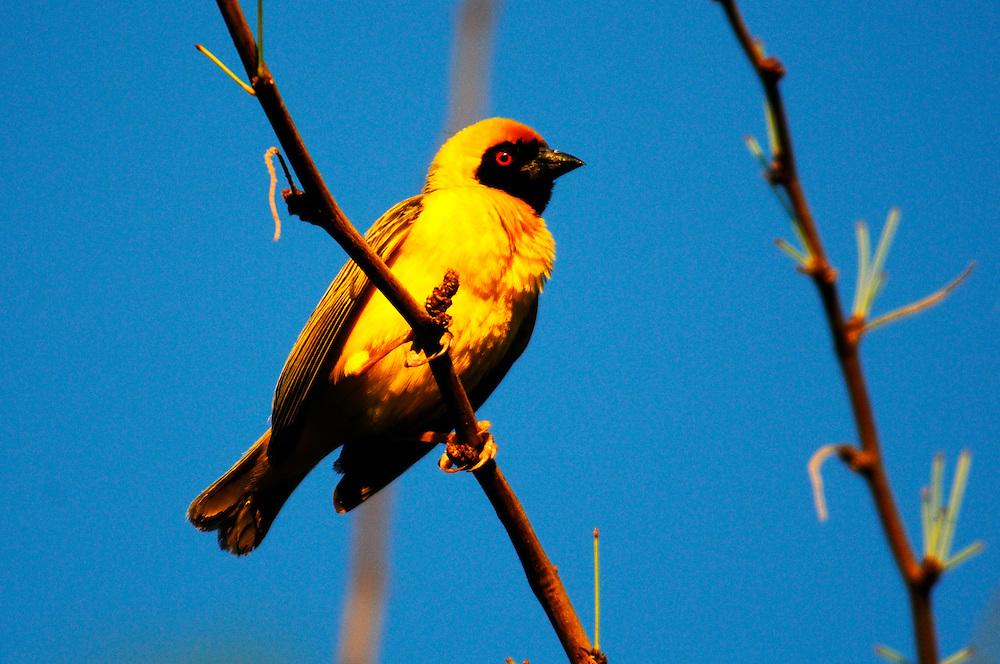 Weaver Bird, Quiver Tree Restcamp, Keetmanshoop, Karas Region, Namibia.