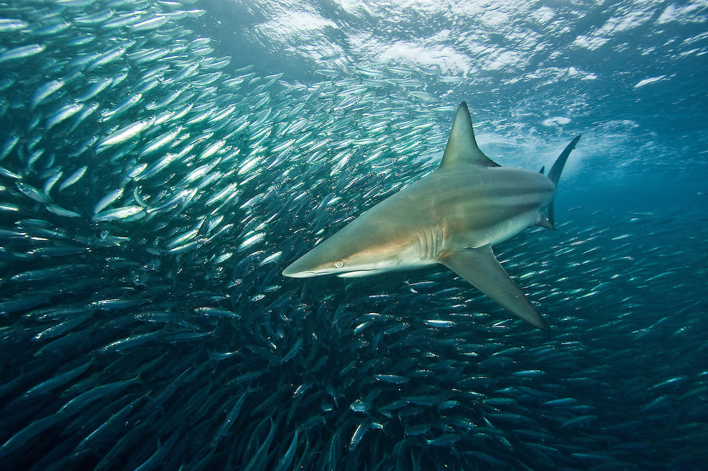 Shark feeding on sardines