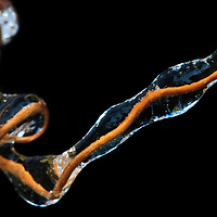 Macro of a tiny vine tendril encased in ice after an ice storm, Falls Church, Virginia.