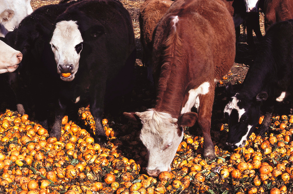 In Exeter, California. Surplus whole naval oranges are fed to cattle. Other surplus oranges are chopped up and dried in the sun for cattle feed by Sungro Co. near Bakersfield, California. USA.