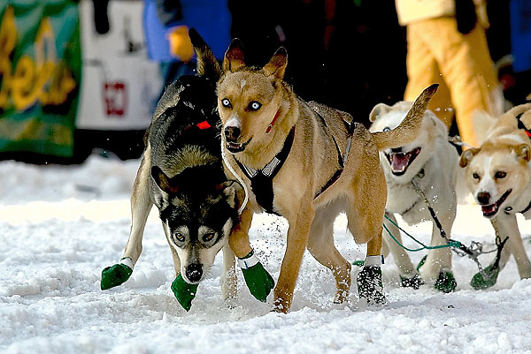 04 March 2006: Anchorage, Alaska - The two lead dogs of Noah Burmeister head out of the gate at the Ceremonial Start in downtown Anchorage of the 2006 Iditarod Sled Dog Race.  Noah is running his brother, Aaron's puppy team this year in his first Iditarod.
