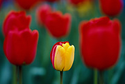 Yellow and Red Tulips, Stanley Park, Vancouver, British Columbia, Canada, April 1987