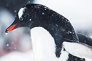 Animals, penguin.<br />