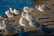 Several ring-billed gulls stand on the shore of a lake, soaking in the afternoon sun