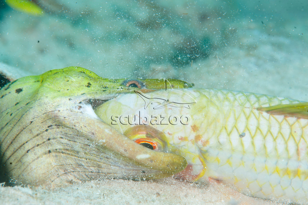 Fimbriated Moray, Gymnothorax fimbriatus, having Yellow Goatfish for dinner, Mabul, Sabah, Malaysia, Borneo.
