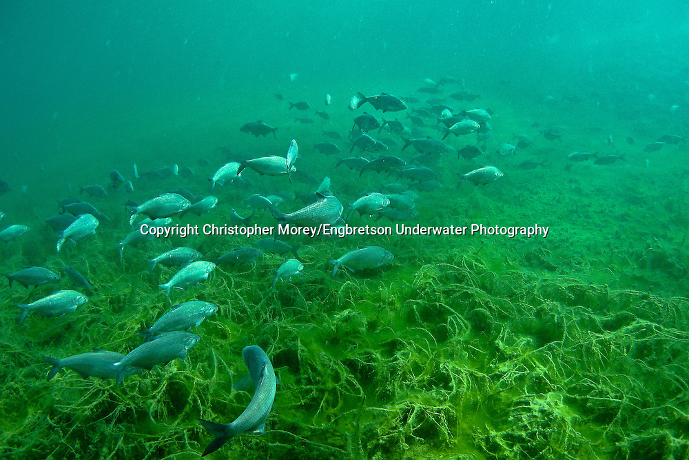 School of Gizzard Shad<br />