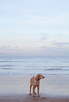 Mixed breed Golden Retriever-Poodle cross on beach in Herne Bay Kent