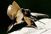An adult swallow feeds a fledgling in flight. The birds migrate from Africa to Scotland to bread before returning for the winter