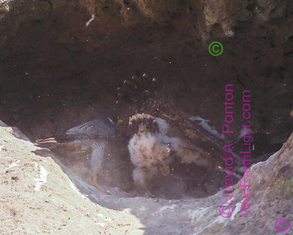 Nestling peregrine falcons compete for prey delivered by adult, creating a dusty melee. [photo by motion-activated camera, low-resolution limits repro. size] © 2016 David A. Ponton