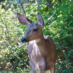 Black-Tailed Deer (Odocoileus hemionus columbianus) at Lightenng Creek, Ross Lake National Recreation Area, North Cascades National Park, Washington, US