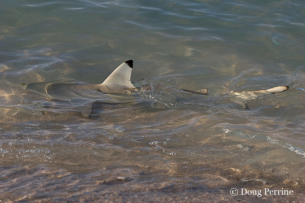 blackfin or blacktip reef shark, Carcharhinus melanopterus, patrols the shoreline, hunting for seabirds and bait fish, Turu Cay, Torres Strait, Queensland, Australia