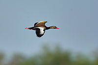 Black-bellied Whistling-Duck (Dendrocygna autumnalis), Arthur    Photo: Peter Llewellyn