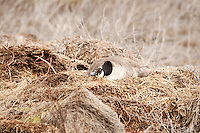 A Canadian goose nesting in a broken bale of hay on the edge of a field next to the Farmington Bay Bird Refuge in late March in Northern Utah