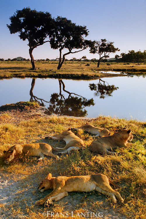 Lionesses sleeping at waterhole, Panthera leo, Chobe National Park, Botswana
