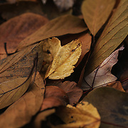 &quot;Golden Crunch'<br /> <br /> Gorgeous brown and gold leaves abound in this end of autumn nature photo of the crunchy goodness that lies on the ground!