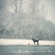 """Between mid-November and March is when moose typically lose their antlers; younger moose keep their antlers until later in the winter and it is usually only two year old moose that may still be adorned with their antlers come March. Moose are the largest living member of the deer family (Cervidae) and fittingly bear the largest set of antlers. Moose antlers are usually paired and shaped like the palm of a hand with outstretched fingers, thus the expression palmate. After a male moose reaches one year of age he starts to grow antlers that increase in size becoming more elaborate with more points and heavier for each new set of antlers he grows until he reaches his prime. After a male (Bull) moose reaches his prime the antlers start to recede each year until the moose dies. Every year the cycle is the same. In the spring antlers begin to grow from the skull covered with a tissue called """"velvet"""". By September the growth has completed and the velvet dries and falls off. Moose will often aid the removal of the velvet by rubbing their antlers on trees and shrubs (on occasion they'll eat the velvet too!). The continuous rubbing on trees, combined with the dried blood and dirt will give the Moose Antlers the brown colour in the fall. They do not serve a useful purpose until the fall and during the mating season (called the Rut).<br /> This was during one of my best winter experiences in Southeast Alaska. There was such a great feeling of wildness and solitude up in Adam's Inlet. Very few boats go right up into Glacier Bay during the winter, and certainly not deep into Adam's Inlet. It was so peaceful up there in winter. It has always been my dream to spend a whole winter camped with the moose and wolves up Adams Inlet."""
