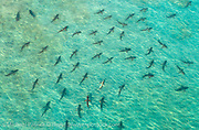 Schooling Blacktip Sharks, Carcharhinus limbatus, gather by the thousands during their annual migration to northern Palm Beach County, Florida, United States. Image available as a premium quality aluminum print ready to hang.