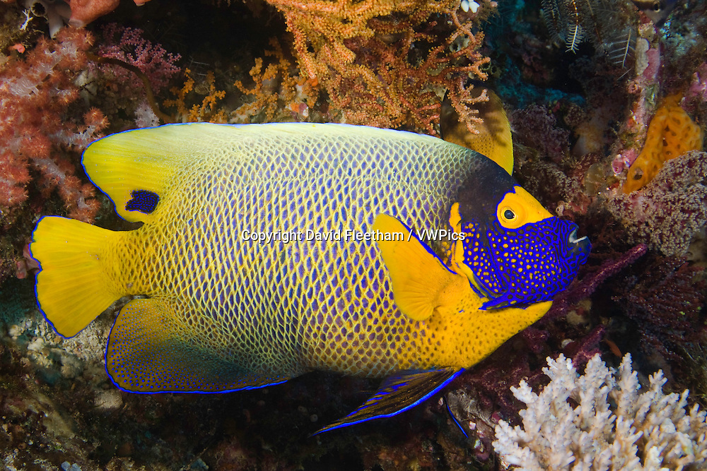 Blue-face angelfish, Pomacanthus xanthometopon.  Komodo, Indonesia.