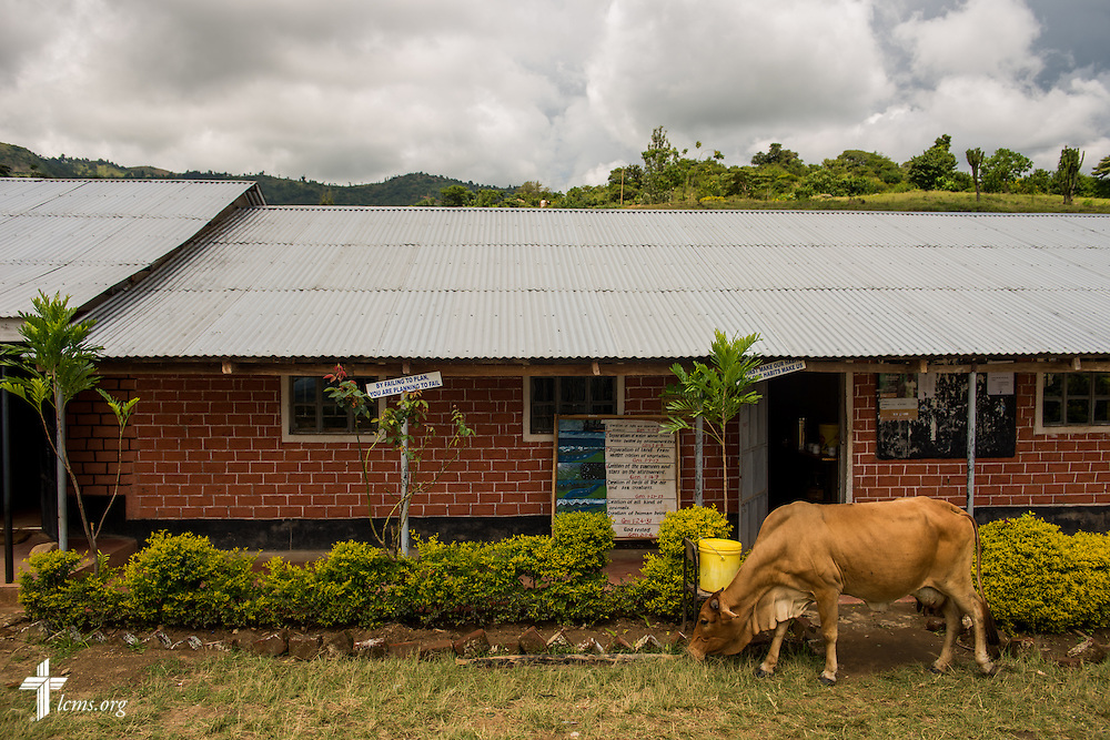 A cow lunches on the grounds of Propoi Girls Secondary School, a school sponsored by the ELCK (Evangelical Lutheran Church in Kenya) that also teaches girls from the U-Dom ELCK Project 24 site, on Thursday, June 23, 2016, in Chepareria, Kenya.  LCMS Communications/Erik M. Lunsford