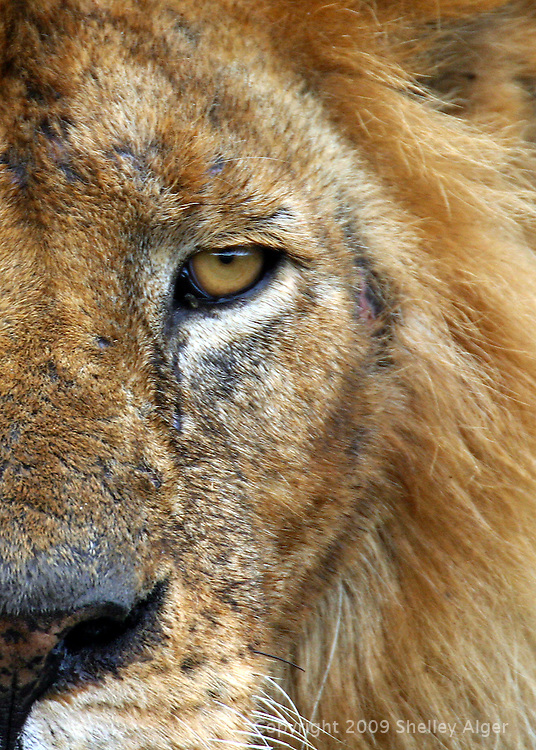 Closeup of African male lion