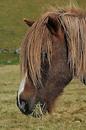 The Icelandic horse have been on Iceland since the wining age. <br />