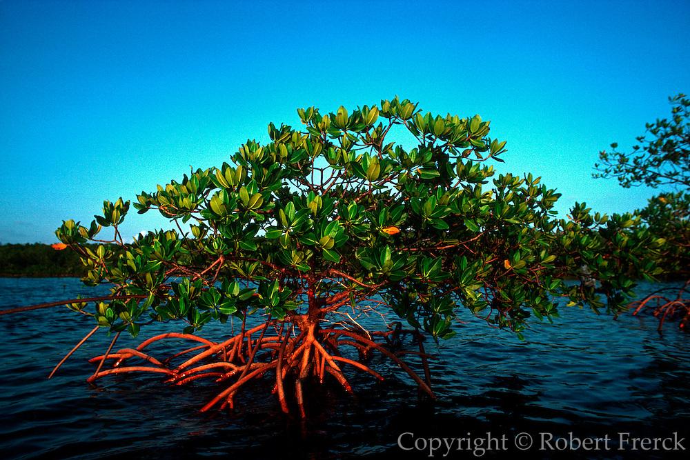 UNDERWATER MARINE LIFE CARIBBEAN, generic Red mangrove Rhizophora species