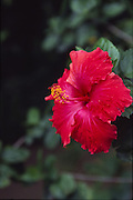 Hibiscus flower, Puamua, Hiva Oa, Marquesas, French Polynesia<br />