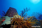 feather star or crinoid, coral, and barrel sponge on reef, Dominica  ( Eastern Caribbean Sea )