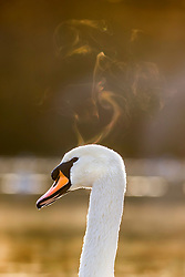 © Licensed to London News Pictures. 19/11/2019. Leeds UK. Heat rises from a Swans head in the freezing temperatures at Golden Acre Park in Leeds at sunrise this morning in Yorkshire. Photo credit: Andrew McCaren/LNP