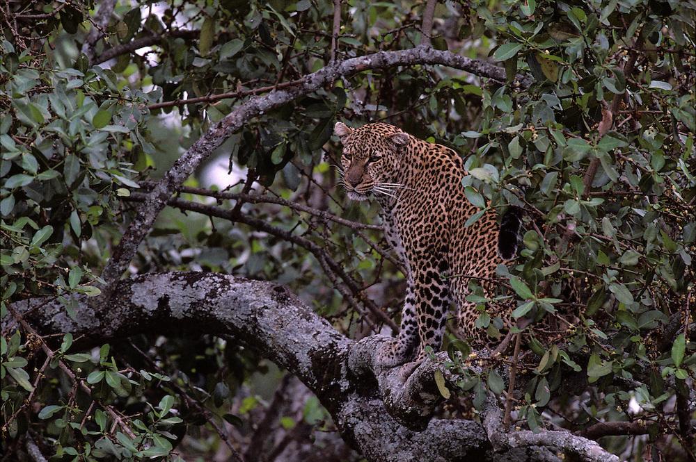 Africa, Kenya, Masai Mara Game Reserve, Leopard (Panthera pardus) sitting on tree branch above Telek River