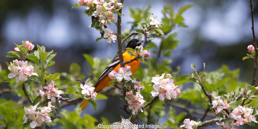 Baltimore Oriole in an apple tree, E. Dorset, VT.  With a 20MB size, the image comfortable enlarges to at least a 12 x 18 size (in my bathroom)