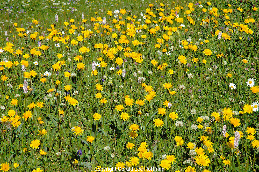 Field of flowers on a Swiss hike.