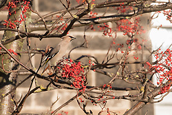 A flock of Waxwings descended on Abercorn Park, Portobello, feasting on the Rowan berries.<br /> <br /> <br /> © Jon Davey/ EEm