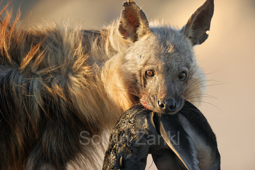 Brown hyena (Parahyaena brunnea oder Hyaena brunnea), with a kill. It is a fur seal pup, (Arctocephalus pusillus) Tsau-ǁKhaeb-(Sperrgebiet)-Nationalpark, Namibia | Schabrackenhyäne (Parahyaena brunnea oder Hyaena brunnea) mit einer erbeuteten jungen Robbe. Die Robbe ist ein Südafrikanische Seebär (Arctocephalus pusillus) und einen Tag alt.