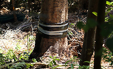 Auckland-Kauri tree at centre of protest ring barked, Titirangi