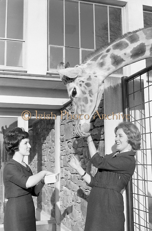Elizabeth Geoghegan (left) and Violette Higgins feeding the giraffe adopted by Paulgrave Murphy at Dublin Zoo..21.03.1962