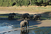 Elephants cross infront of Mfuwe lodge..South Luangwa National Park, Zambia, Africa.© Demelza Cloke