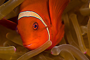 Spinycheek Anemonefish (Premnas biaculeatus) in a sea anemone in Komodo Island, Indonesia.