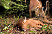 A wild cougar (Puma concolor) uncovers a elk calf (Cervus elephus nelsoni) calf that it killed and covered with debris earlier. Biologists from The Oregon Division Of Fish and Wildlife placed a radio collar and ear tags on this mountain lion to track its movements. Wallowa County, Oregon.<br /> <br /> This image was taken during the Oregon Division Of Fish And Wildlife's controversial Cougar Management Plan.<br /> <br /> Cougars will often cache prey after the kill, and then return to feed later. A motion-sensing camera photographed this cat returning for a meal.
