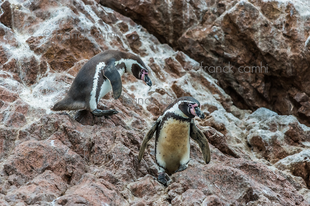 two Humboldt penguins in the peruvian coast at Ica Peru