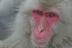A headshot of a snow monkey, whose fur is standing up, at a hot spring in Japan.