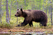 Brown bear (Ursus arctos), adult male from the forests of eastern Finland in August 2015.