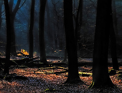 A single patch of autumn coloured ferns is being illuminated by a ray of sunshine in the dark forest.