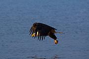 Bald Eagle, Haliaeetus leucocephalus, fishing, Kenai Peninsula, Homer Spit, Homer, Alaska. Digital original #2006_1474 ©Robin Brandt