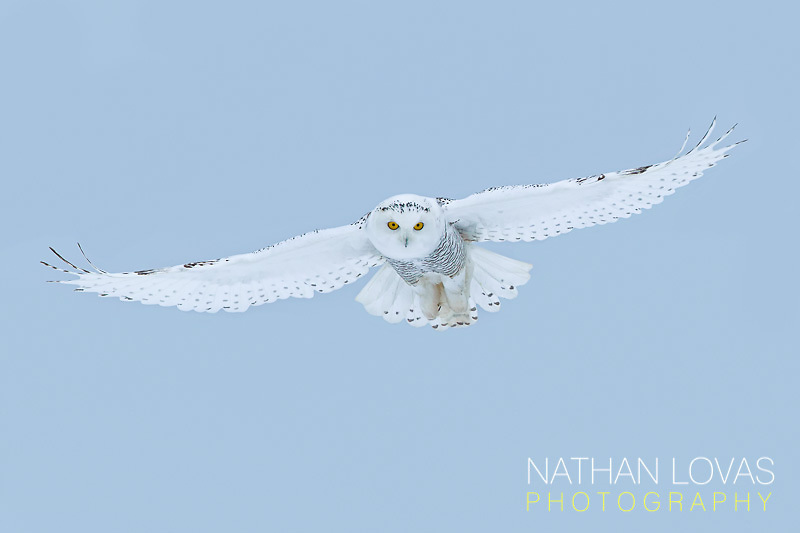 Snowy Owl (Bubo scandiacus) in-flight;  Minnesota.