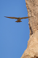 Peregrine falcon in flight along her eyrie cliff,  © 2011 David A. Ponton