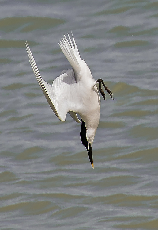 Diving sandwich tern in the Solent off Cowes, Isle of Wight