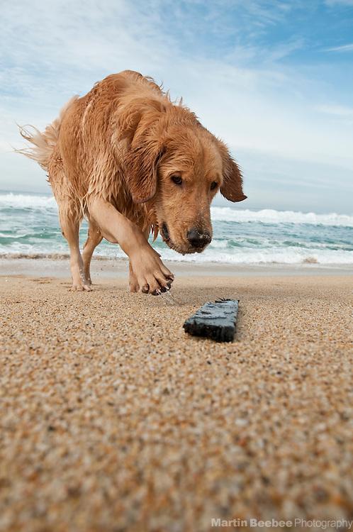 A dog (golden retriever) going after a stick at the beach, California