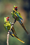 Military Macaws<br />Ara militaris militaris<br />Pongo, Urubamba River, Amazon PERU.  South America<br />Range: Tropical Colombia, nw Venezuela, Ecuador & n Peru