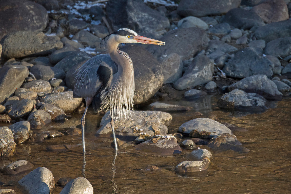 Bedecked in his colorful breeding plumage, this male great blue heron hunts for fish along the Shoshone River. Although most are seasonal residents, some herons do winter in the Greater Yellowstone Ecosystem, favoring wetlands which provide sufficient winter hunting opportunities.